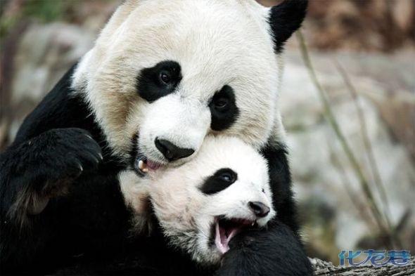 大熊猫也是动物世界的最