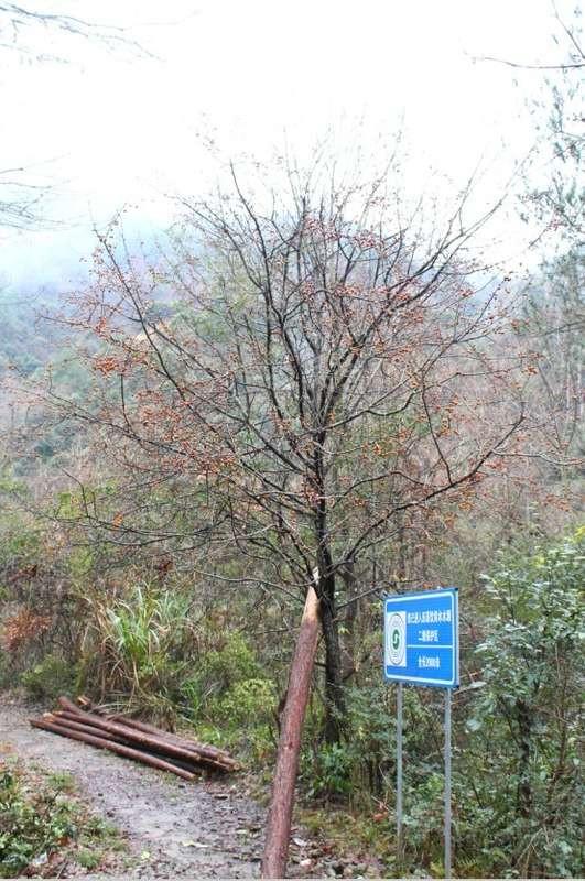 酸,好赞!后来问过向导才知道,这是野生樱桃树,爱吃酸的孕妇和爱图片