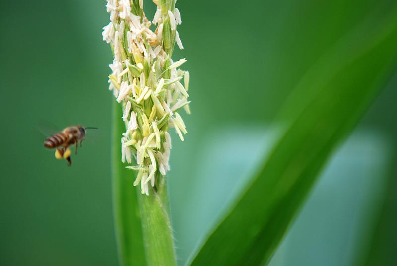 图 视频 直击小蜜蜂辛勤采蜜,难得一见,硕大的黄色蜂蜜腰腹间搂抱图片