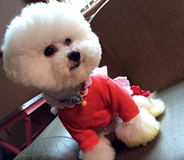 我家的比熊gg终于摆脱了泰迪造型重回比熊样,香油们,是不是很可爱呢?