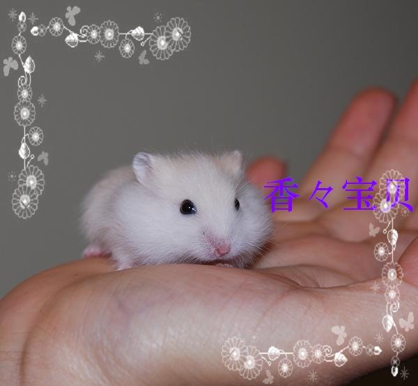 自家繁殖的可爱小仓鼠已断奶寻找主人中