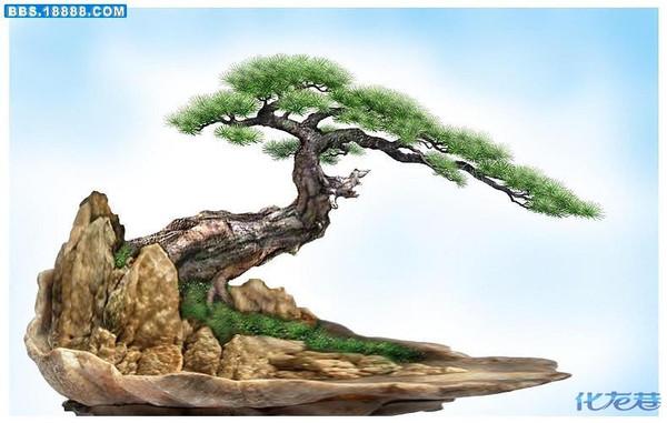 树形:黄山松盆景形态自然多变