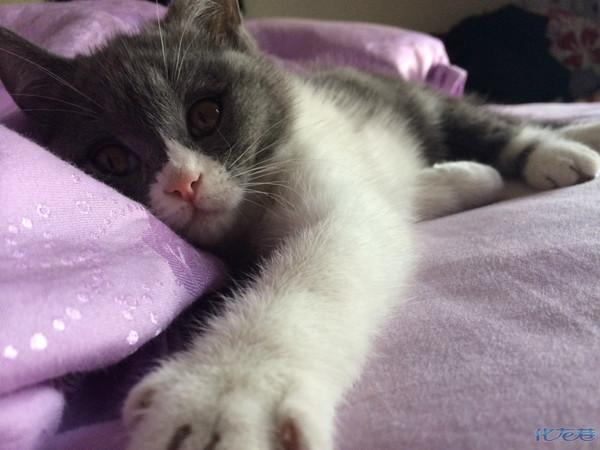 我家的调皮可爱的蓝白英国短毛猫-奥利奥~!最萌最可爱