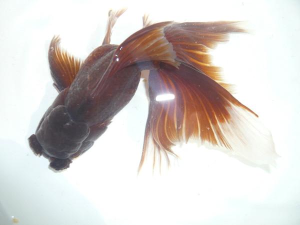 金鱼九亭之凤尾高头球,3龄鱼,体长16-18cm,120元,优惠