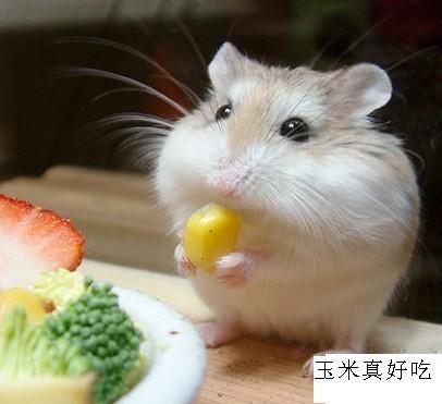 可爱的仓鼠!|家有宠物-化龙巷